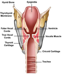 Inside the Larynx