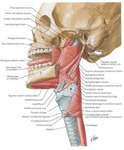 Constricor Muscle and Singing