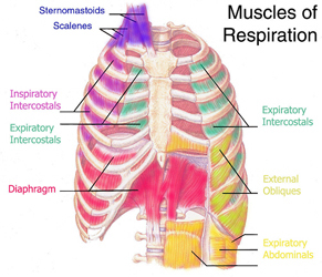 Breathing Muscles of the Singer